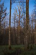 Rising sun gently illuminates standing dead oak tree (Quercus robur) that seems to be quite popular woodpecker drumming tree in riparian forests along river Vēršupīte, Kemeri National Park (Ķemeru Nacionālais parks), Latvia Ⓒ Davis Ulands | davisulands.com