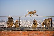 Rhesus macaque (Macaca mulatta) family at Swayambhunath Temple, Kathmandu, Nepal.