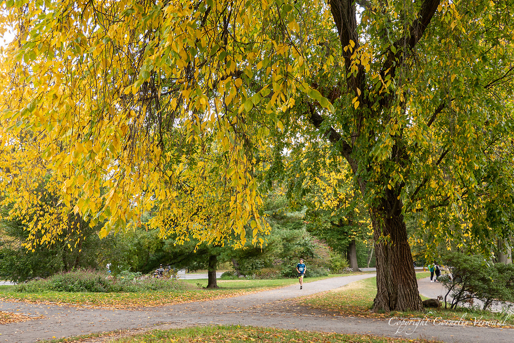 A jogger passing an Elm tree in full autumn colors along the bridle path near The Pool in Central Park