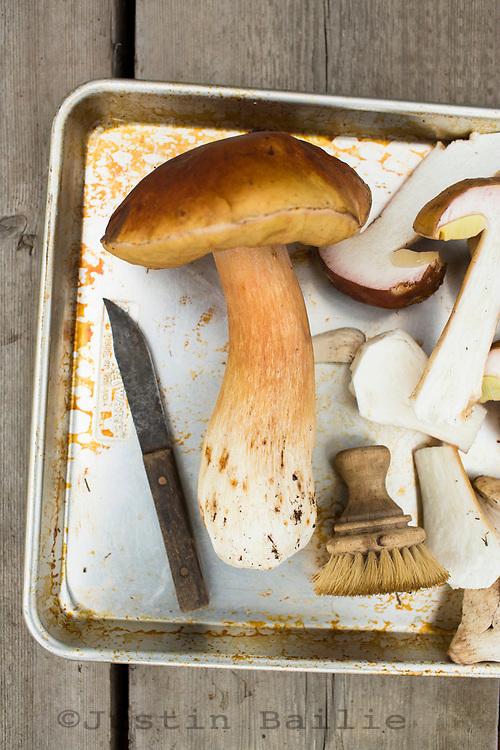Wild Bolete mushrooms found in the forest along the Oregon Coast.