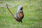 Male ringneck pheasant courtship display during spring