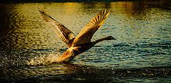 A cygnet takes off to fly a short distance<br /> <br /> (c) Andrew Wilson | Edinburgh Elite media