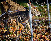 Young Deer inside the Electric Fence. Image taken with a Fuji X-H1 camera and 200 mm f/2 camera + 1.4x teleconverter (ISO 200, 280 mm, f/2.8, 1/1500 sec).