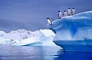 Image of gentoo penguins on an iceberg in Antarctica by Randy Wells