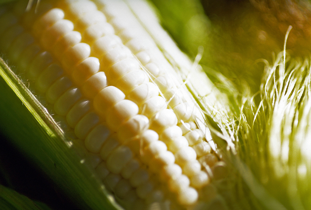 Extreme close up of an ear of white corn peeled open to expose the kernals
