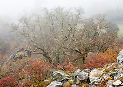 Fog engulfs orange leaves and lichen covered trees, in a forest in Sagarmatha National Park, in the Khumbu District of Nepal. Sagarmatha National Park (created 1976) was honored as a UNESCO World Heritage Site in 1979.