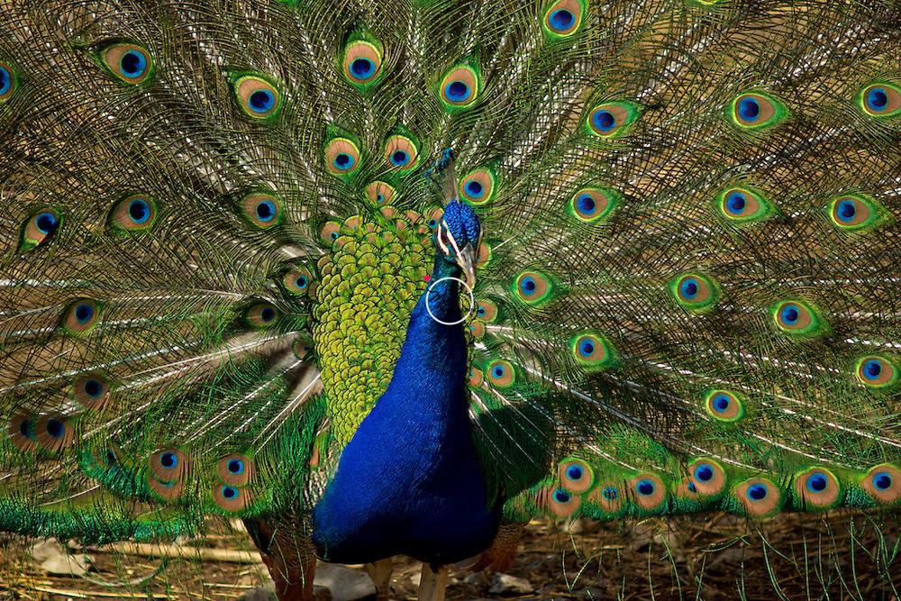 Peacock Display<br /> Animal model courtesy of susandownsgallery.com