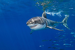 great white shark, Carcharodon carcharias, with schooling jack mackerels, Trachurus symmetricus, off Guadalupe Island, Mexico, East Pacific Ocean