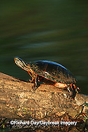 02511-003.13 Painted Turtle (Chrysemys picta) on log in wetland  Marion Co.  IL