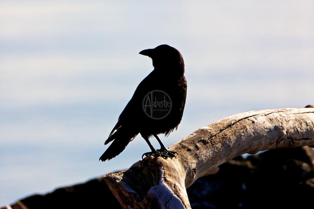 Birds of 2013: Crow in Elliott Bay.