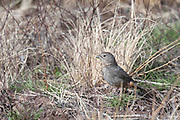 Photograph of Canyon Towhee from Whitwewater Draw Wildlife Area AZ