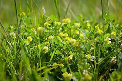 Lesser Trefoil. Trifolium dubium