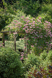 Honeysuckle on a wooden arch at Glebe Cottage. Lonicera periclymenum 'Belgica'