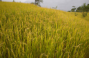 Rice stalks closeup photographed in a rice paddy in India