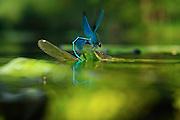 Banded Demoiselle (Calopteryx splendens) | Gebänderte Prachtlibelle (Calopteryx splendens)