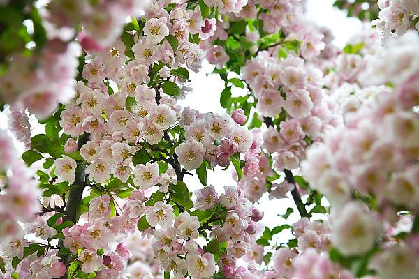 Nederland, Ubbergen, 8-5-2013Een boom in onze tuin staat prachtig in bloei.Foto: Flip Franssen/Hollandse HoogteFoto: Flip Franssen/Hollandse Hoogte