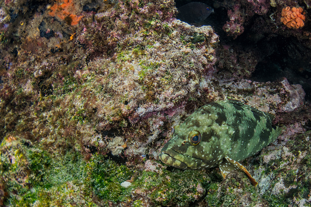 Flag cabrilla (Epinephelus labriformis)<br /> Rabida Island<br /> Galapagos<br /> Ecuador, South America<br /> ENDEMIC TO GALAPAGOS