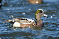 American widgeon duck (Anas americana), Cambridge, Maryland.