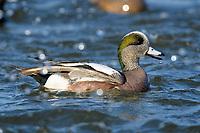 American widgeon duck (Anas americana), Cambridge, Maryland.