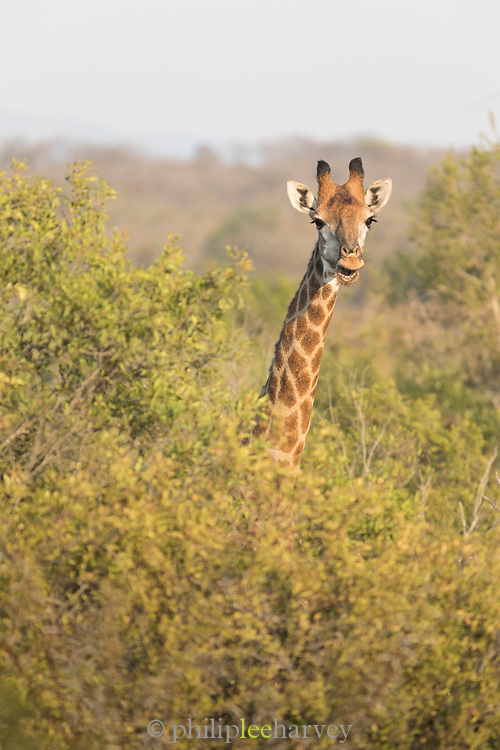 Close-up of giraffe among trees, Mkhaya Game Reserve, Eswatini