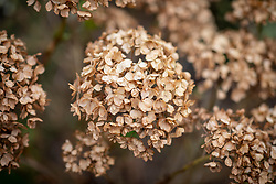 Hydrangea seedheads - Hydrangea macrophylla You and Me Together syn. 'Youmefive'