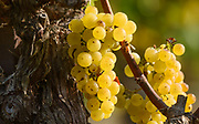 Chardonnay grapes on a September morning at Square Peg Winery in West Sonoma County, California