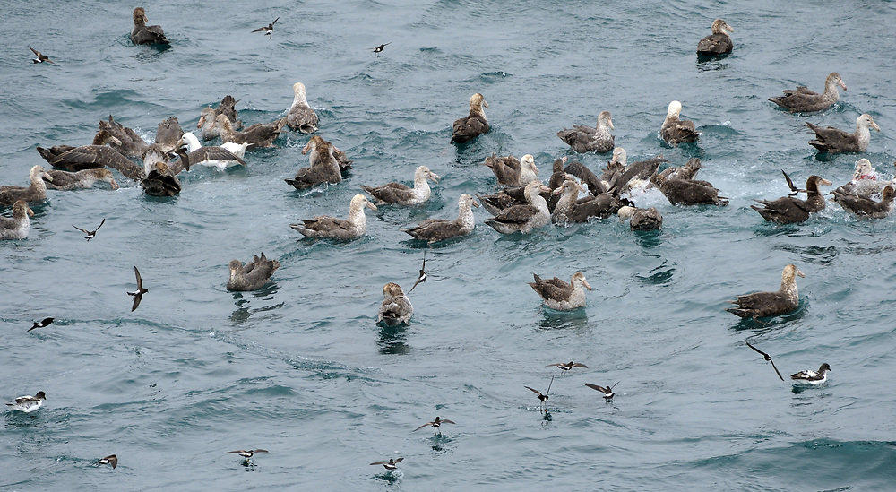 A collection of sea birds feed on a patch of krill or small fish at the surface of the sea. Birds present are Cape petrel (Daption capense), Northern Giant Petrel (Macronectes halli), Southern Giant Petrel (Macronectes giganteus) including a light morph. Wilson's Storm Petrel (Oceanites oceanicus) hover round the edge picking up scraps. Off South Sandwich Islands. South Atlantic Ocean 24Feb16