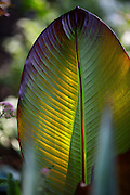 Red banana tree (Ensete ventricosum 'Maurelii').  (Mike Siegel/The Seattle Times)