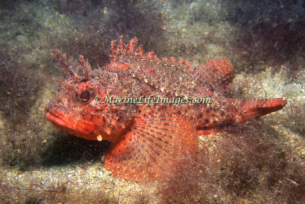 Plumed Scorpionfish inhabit areas of sand mixed with algae in Tropical West Atlanatic; picture taken Grand Cayman.