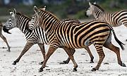Plains zebra (Equus quagga, Equus burchellii) dyed pink from rolling in coloured dust. Sinya Wildlife Management Area, Tanzania.