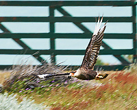 Southern Crested Caracara in flight (with a mouse) near Estancia Helsingfors in Patagonia. Image taken with a Nikon D3x camera and 70-300 mm VR lens (ISO 100, 300 mm, f/8, 1/250 sec). Focus Magic used to remove some motion blur of the bird and mouse)