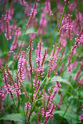 Persicaria amplexicaulis 'Rubie's Pink'