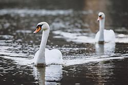 THEMENBILD - zwei Hoeckerschwaene am Zeller See, aufgenommen am 09. Maerz 2021 in Zell am See, Österreich // two mute swans at lake Zell, Zell am See, Austria on 2021/03/09. EXPA Pictures © 2021, PhotoCredit: EXPA/ JFK