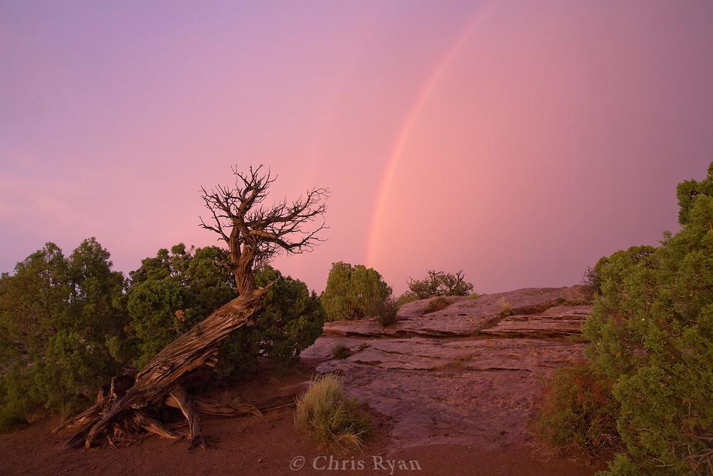 Rainbow and dead tree at Deadhorse Point, Utah