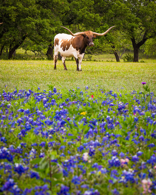 Longhorn cattle among bluebonnets in the Texas Hill Country