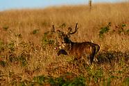 Australia Java Rusa Deer Hunt