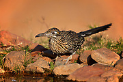 Greater Road Runner (Geococcyx californianus) Amado, Arizona<br /> animals<br /> wildlife<br /> birds