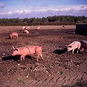 A3AAM7 Free range pig faming Suffolk England