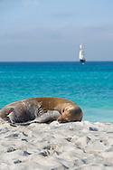 Sea lion sleeping on Espanola Island, Galapagos