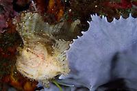 Leaf Scorpionfish Perched on Sponge