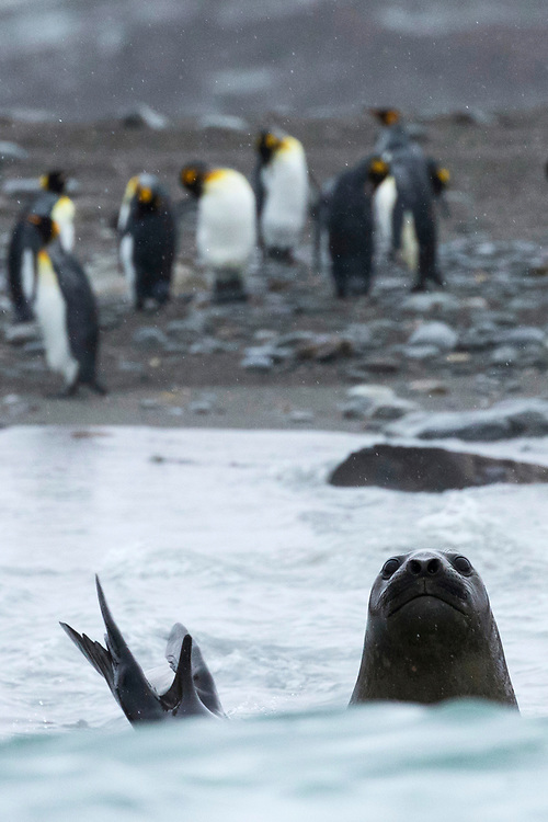 A seal sticks out his head from the water on Friday, Feb. 2, 2018 in St. Andrew's Bay, South Georgia. (Photo by Ric Tapia)
