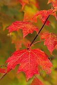 Fall Color, Leaves
