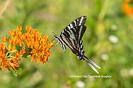 03006-00514 Zebra Swallowtail (Protographium marcellus) on Butterfly Milkweed (Asclepias tuberosa) Marion Co. IL