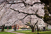 """Cherry trees flower in early April in Seattle, Washington, USA. The Yoshino cherry trees on """"the Quad"""" (Liberal Arts Quadrangle) of the University of Washington were a senior gift from the class of 1959. The trees were rescued from a construction site for the Evergreen Point Floating Bridge and moved to campus in 1964."""