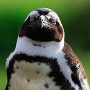 A sleepy, endangered African penguin (Spheniscus demersus) resting with one eye open.