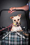 Precious, a two and a half year old chihuahua, in her cart with Barbara Brown.
