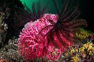 Errina novazelandiae (Red Coral)