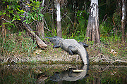 Alligator by Turner River, Everglades, Florida, USAAlligator in Turner River, Everglades, Florida, United States of America