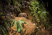 A mountain beaver (Aplodontia rufa) at its burrow. Note the fern clippings at the entrance which are a food item for mountain beavers. Mountain beavers have several common names, including aplodontia, boomer, ground bear, and giant mole. This species is the only living member of its genus, Aplodontia, and family, Aplodontiidae. It only lives in a narrow band along the West Coast of British Columbia, Washington, Oregon and California. It should not be confused with true beavers,  such as the North American beaver, to which it is not closely related.