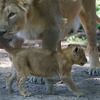 Two month old captive born baby lion and its mother are seen in their cage in the City Zoo in Budapest, Hungary on June 13, 2013. ATTILA VOLGYI